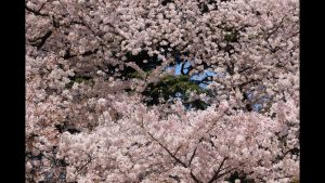 titre printemps au japon, anne et jean baptiste Gustave, montage vidéo, chercheur d'image, audiovisuel, aix-les-Bains